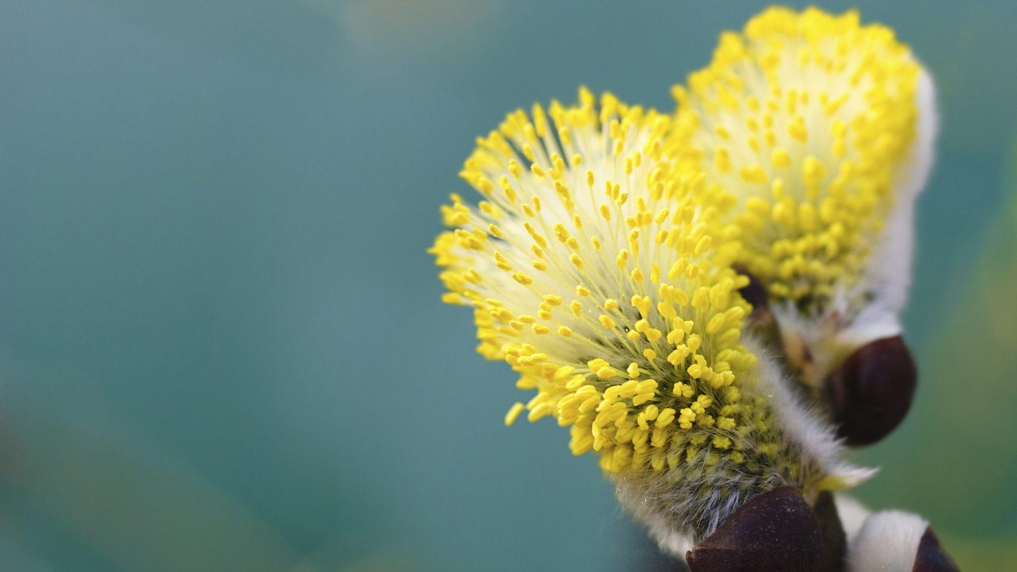 Pollen Therapies